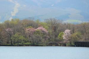 大沼公園桜(キャンプ場付近)