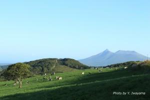 ↑夏になると放牧風景がひろがります。
