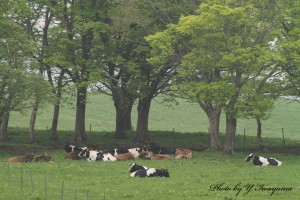 ↑寝そべる牛