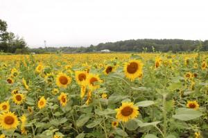 ひまわり畑②
