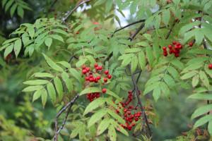 ↑ナナカマドの実も赤くなっています。