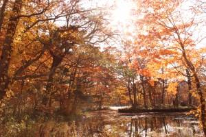 ↑落葉・色あせが始まってきましたが、日が当たるとキラキラきれいです。(2017.10.28)