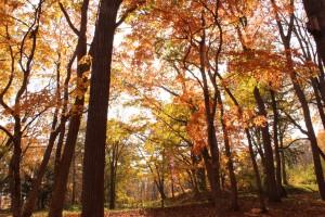 ↑大沼森林公園。紅葉が日に当たり、キラキラ輝いて見えます。(2017.10.24)