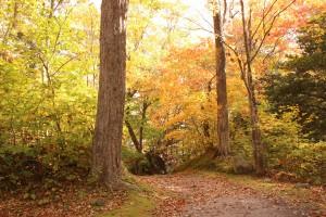 ↑日が当たると、葉が透けて鮮やかな色彩になります。(2017.10.19)