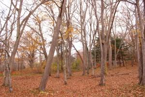 ↑大沼森林公園。落ちた葉が足元に積もっています。(2017.10.30)