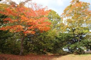 ↑色付きの早かった木は、落葉が進んできました。(2017.10.17)