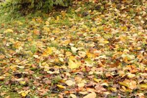 ↑台風による暴風・暴雨で葉が落ちてしまっています。(2017.10.23)