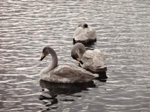 ↑グレーがかった白鳥は、子どもの白鳥です。2017年12月20日