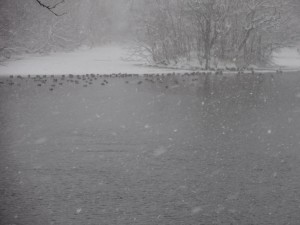 ↑湾の凍ったふちのところに、カモたちが固まっていました。
