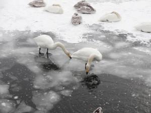 ↑氷をちょんちょんとつつく白鳥。(2018年1月30日)