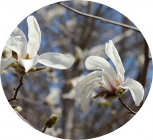 ↑湖畔にはこぶしの花が(2015年4月26日撮影)