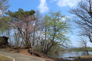 ↑新緑とエゾヤマザクラ(2014年5月4日撮影)