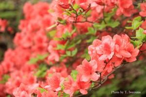 ↑散策路に咲くツツジ(2016年5月15日撮影)